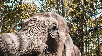 Elephant at Elephant Nature Park, the best elephant sanctuary in Chiang Mai.